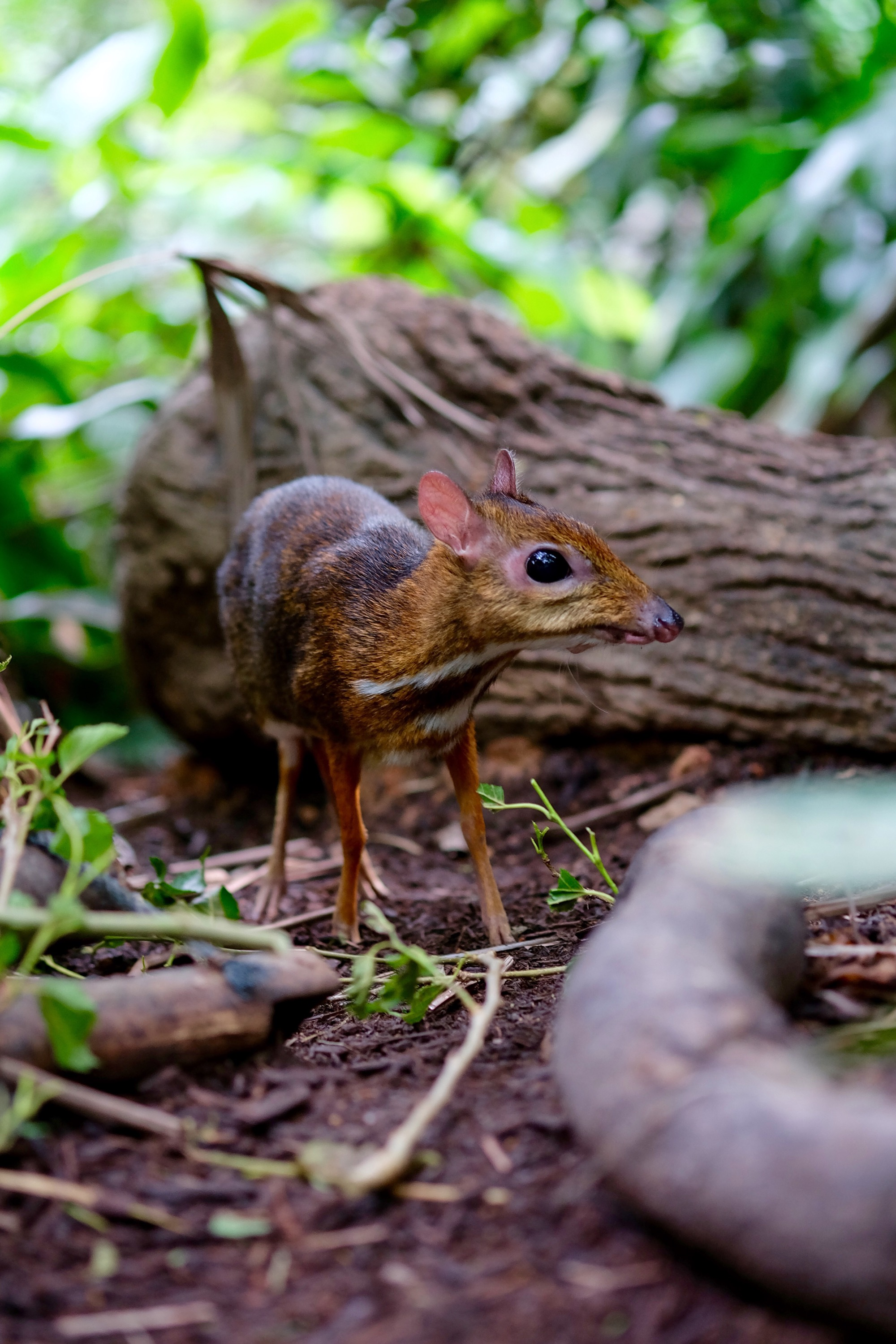 Lesser Deermouse — Singapore Zoo