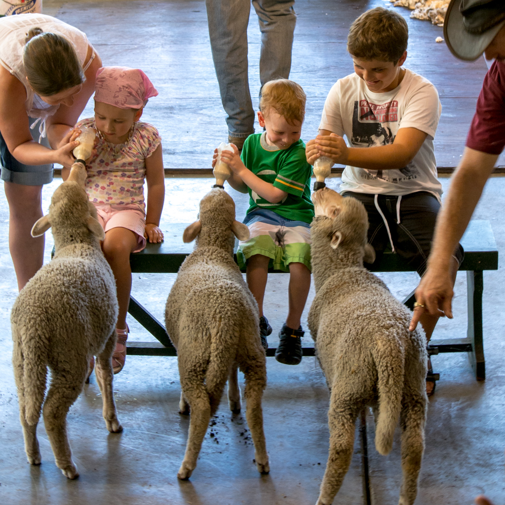 Feeding the lambs – Caversham Wildlife Park, Perth, Australia