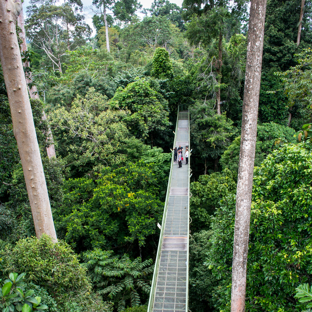 High in the canopy – Rainforest Discovery Center, Sepilok, Borneo