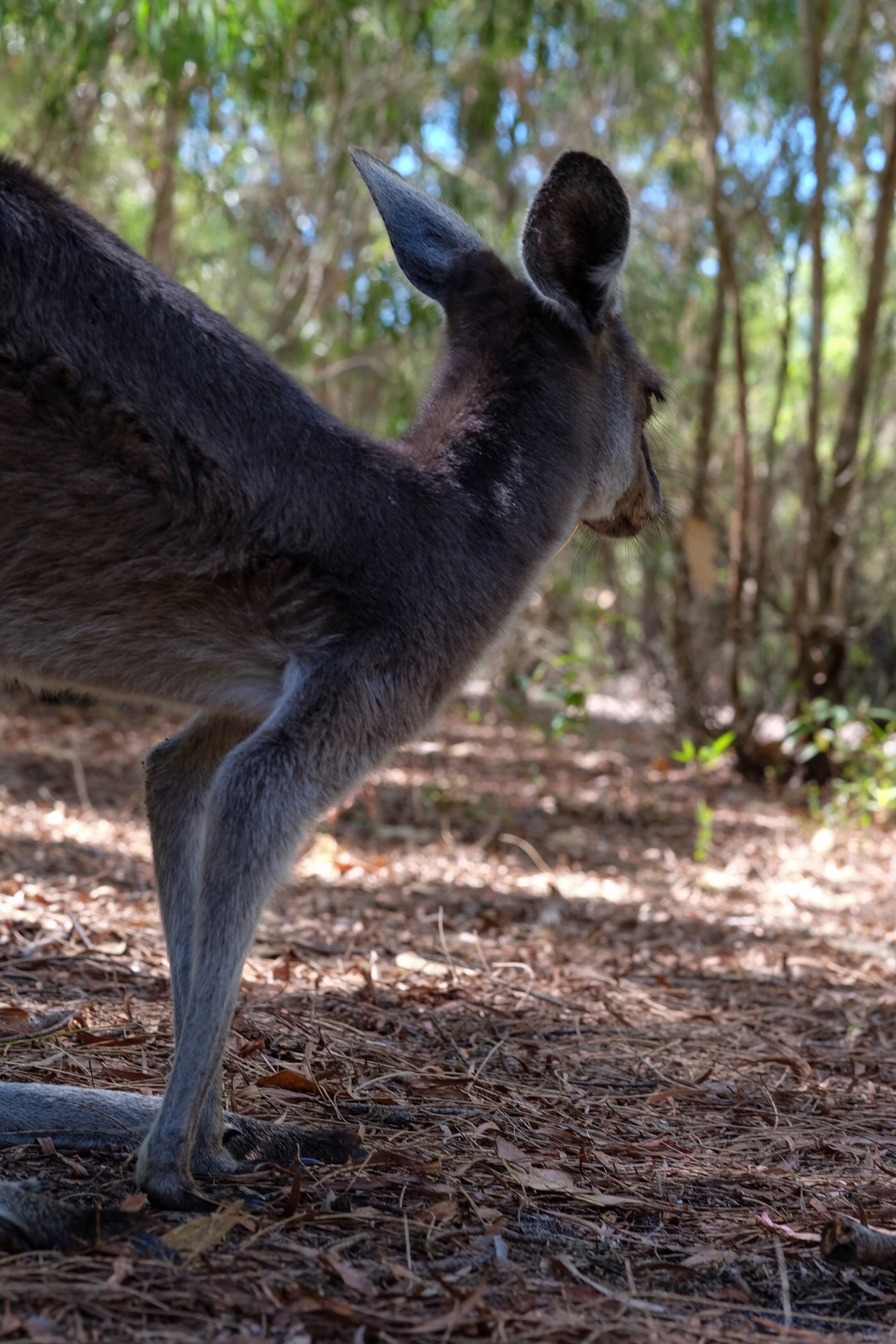 Kangaroo looking for Rowan — Denmark, Western Australia