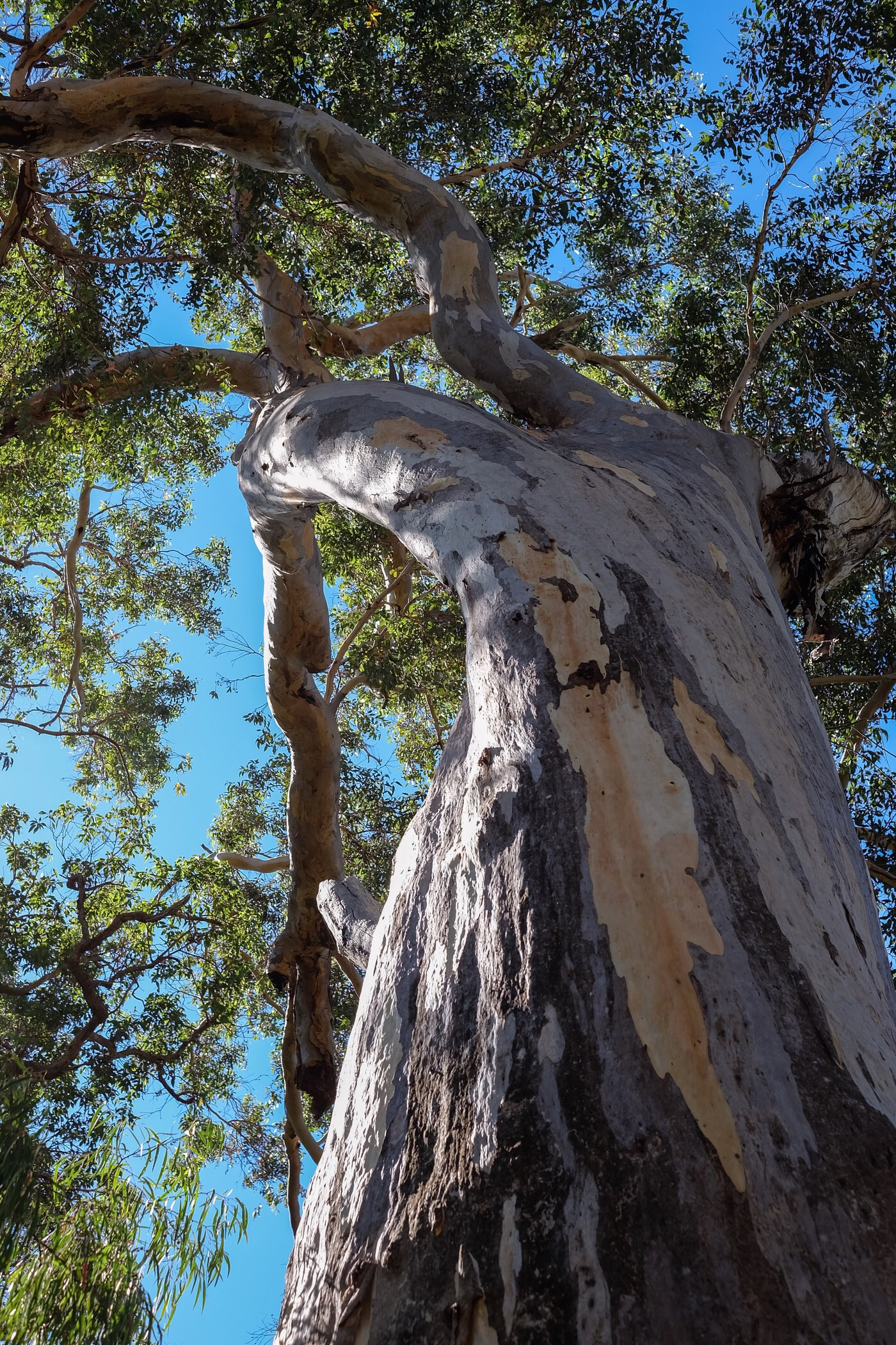 A tall karri tree outside Mammoth cave — Western Australia
