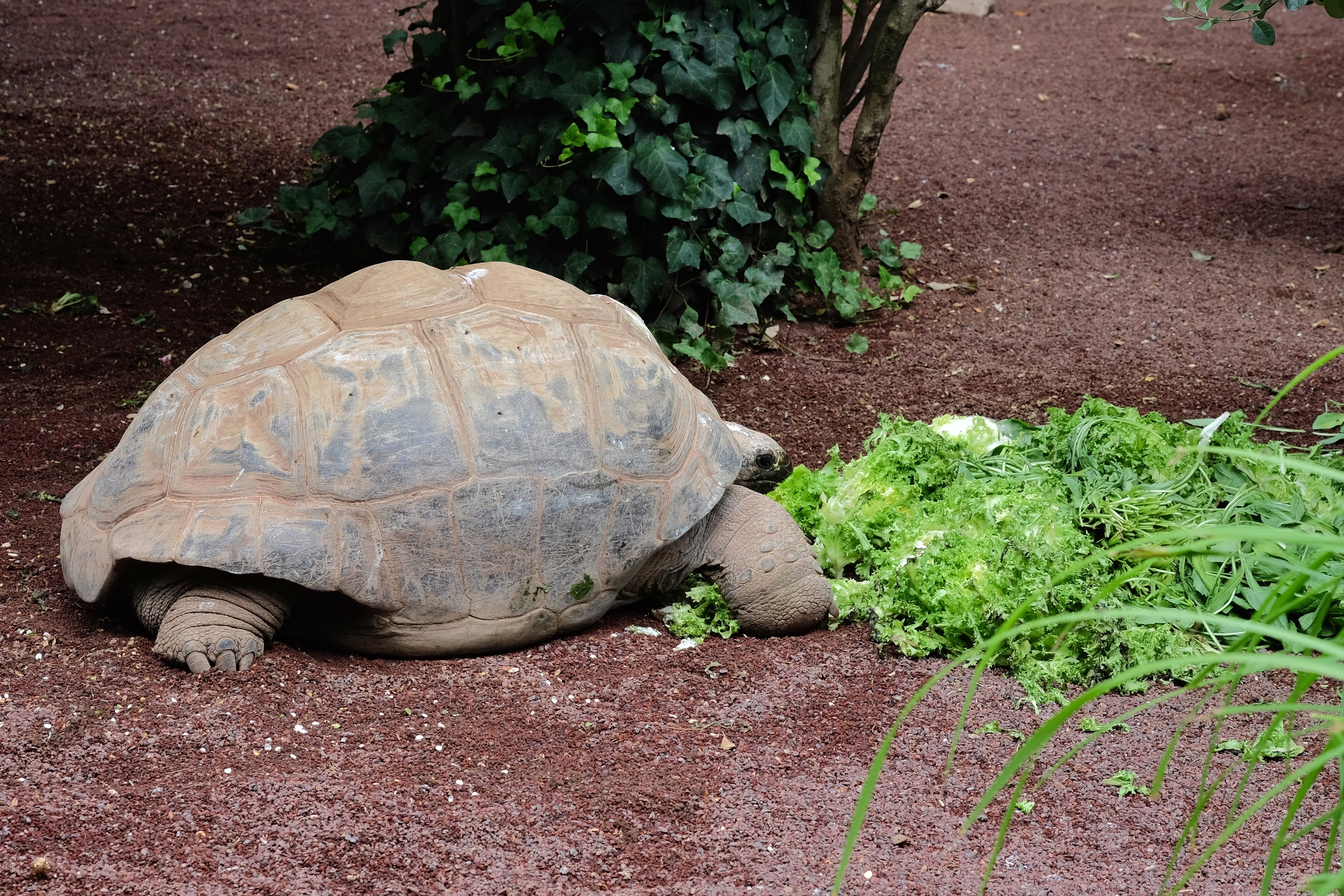 Rowan took this photo of a Giant Tortoise eating an Italian salad.