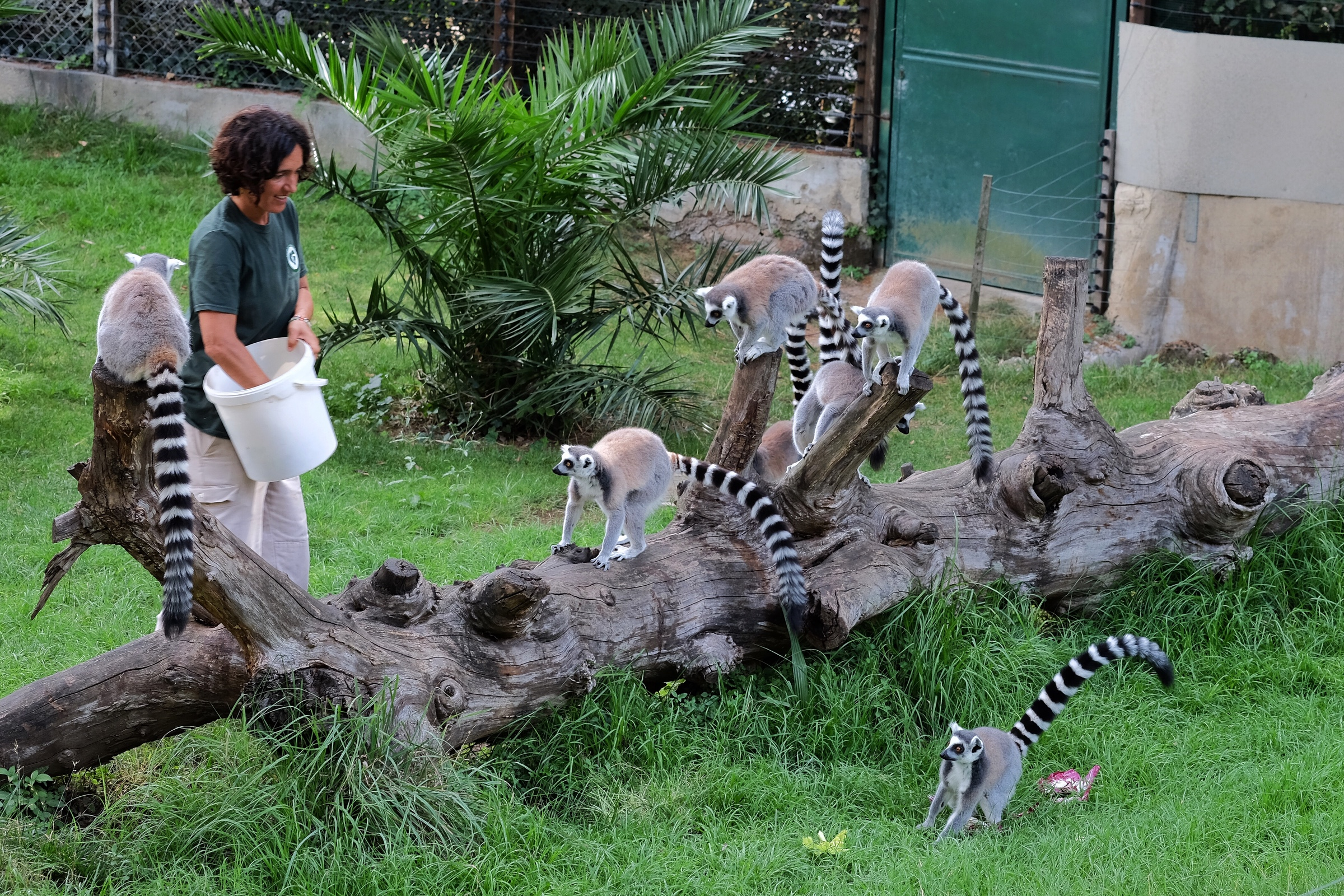 Feeding the lemurs an Italian breakfast at Bioparco Roma.