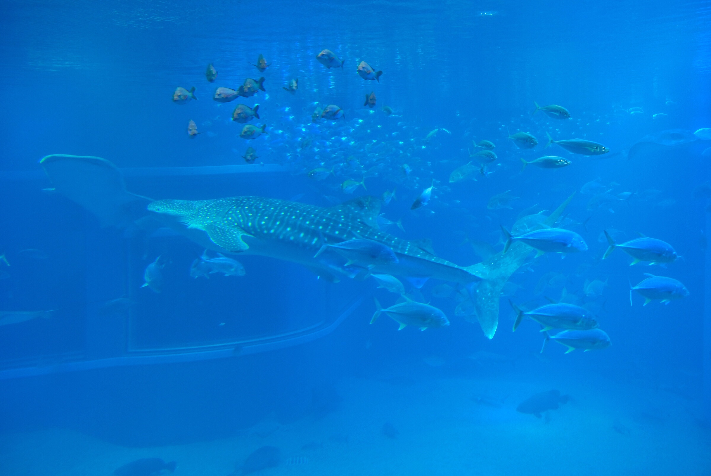Japan - Osaka - Osaka Aquarium - Whale Sharks