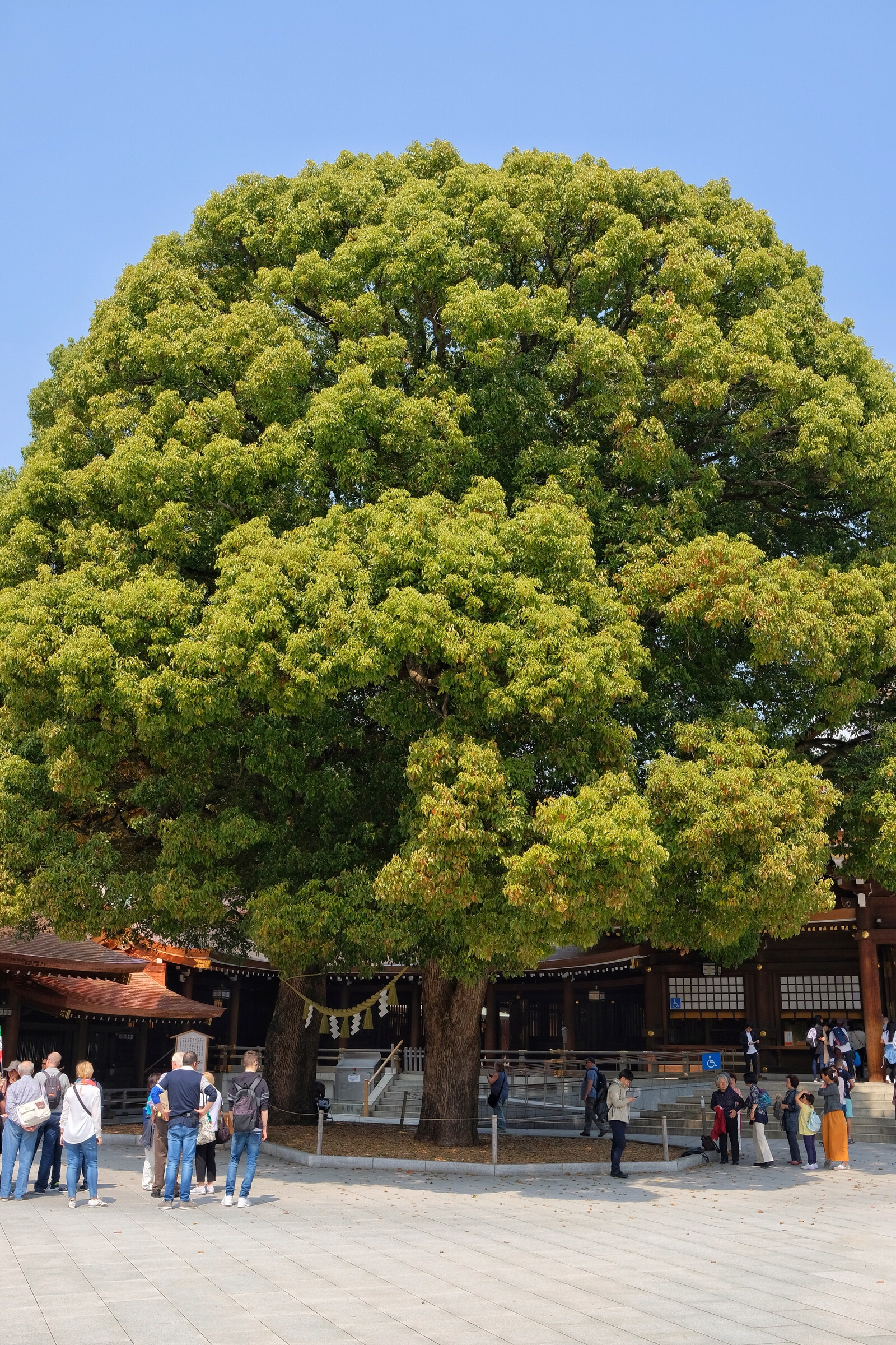 Japan – Tokyo – Meiji Shrine – Husband and wife trees